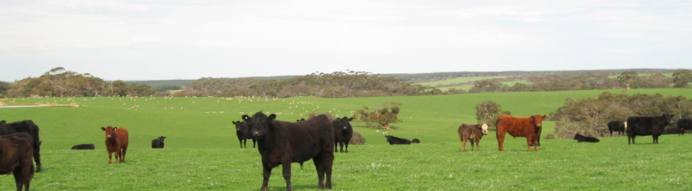 Mixed cattle in distance in green paddock