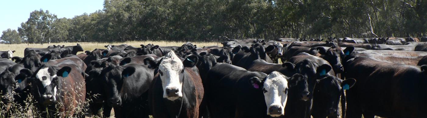 Cattle in field looking forward