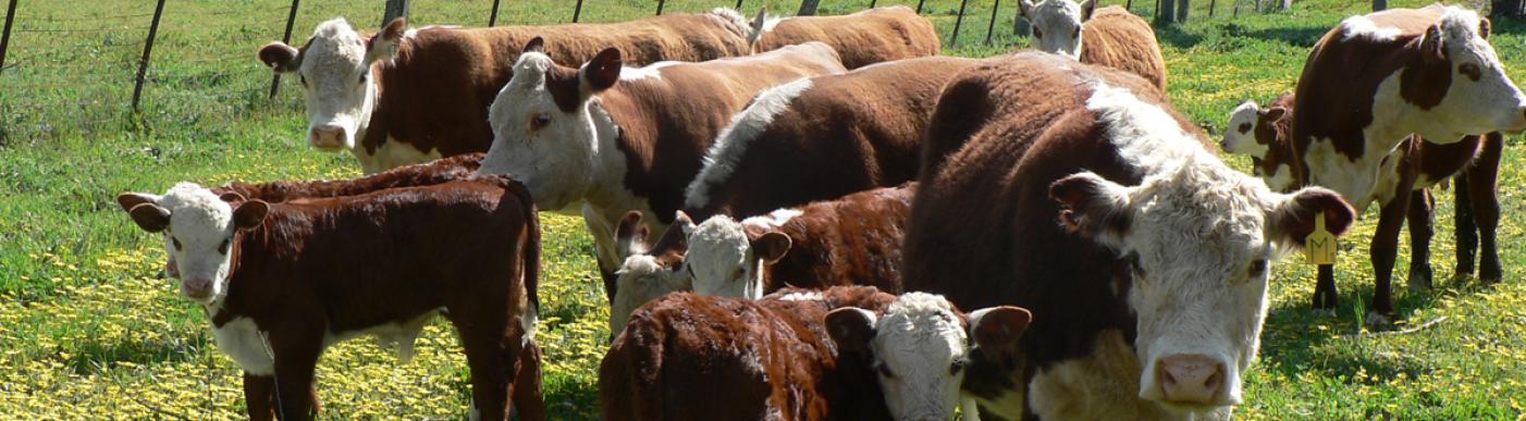 cattle_fbook_005