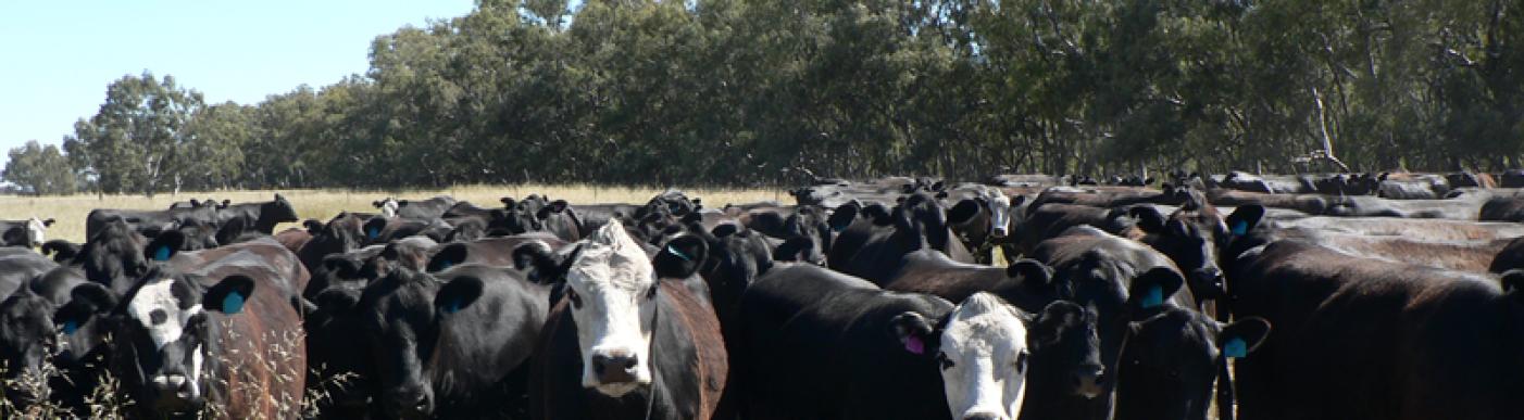 cattle_mailchimp_002
