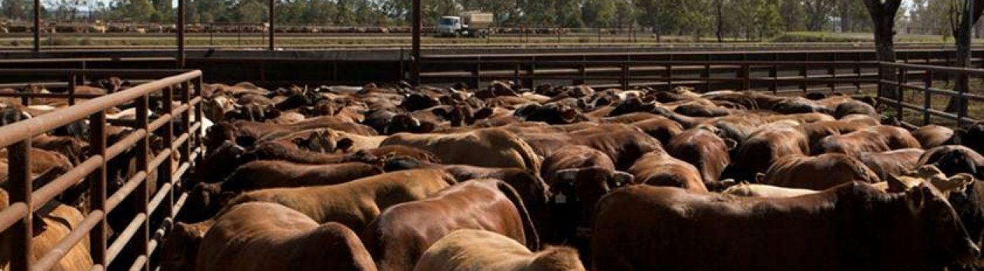 Cattle in a yard