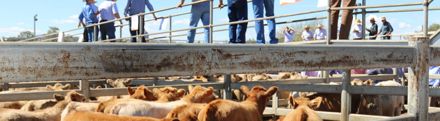 Cattle in saleyards with agents