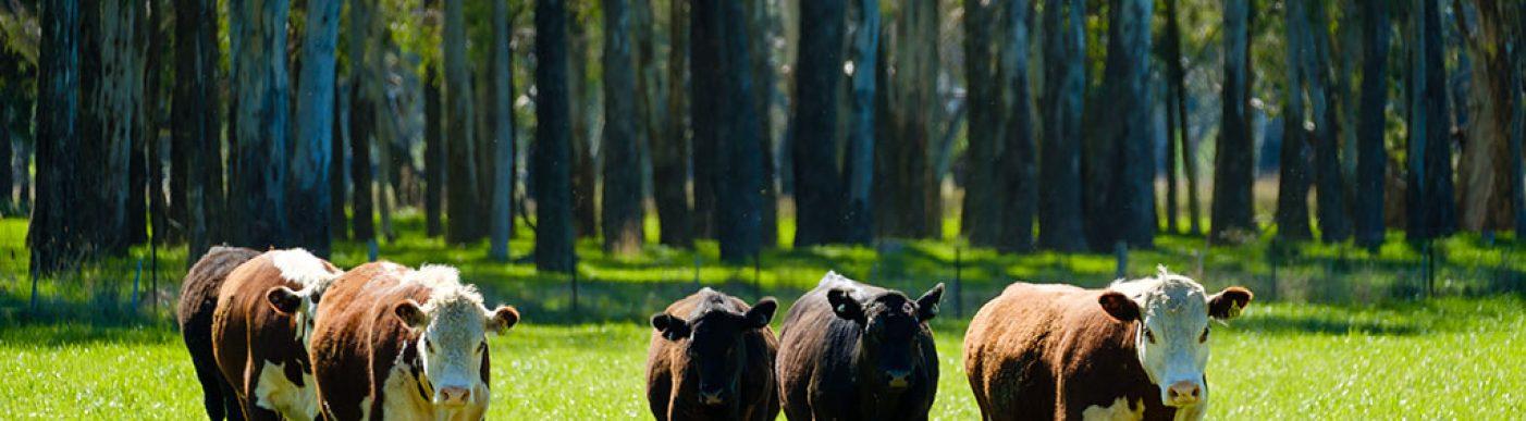 cattle_riv_003_lq