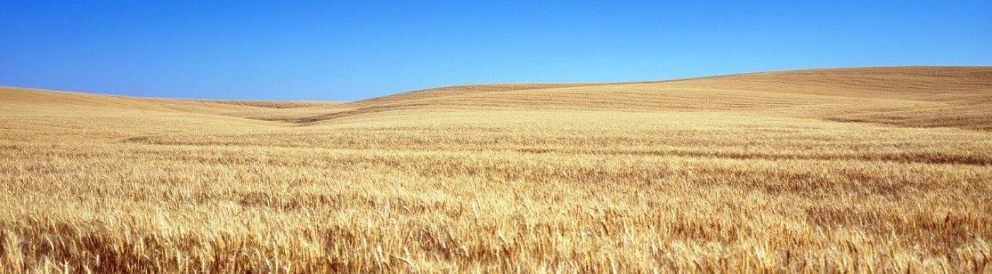 cornfield-1651379_1280