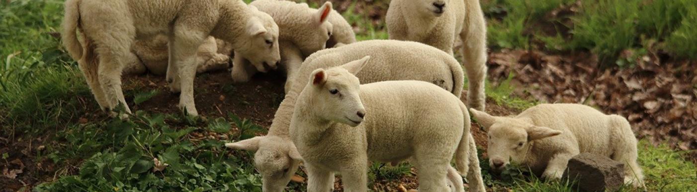 lamb-2211015_1280