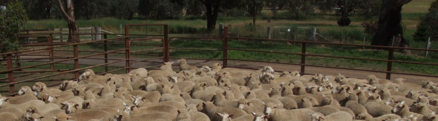 Large lambs in pen on farm