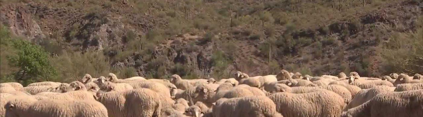 Sheep in America
