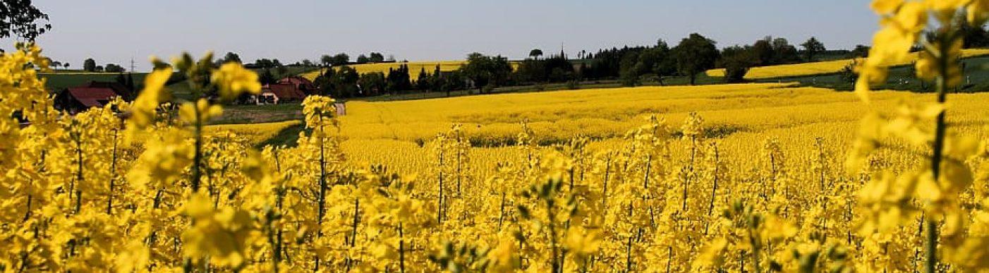 oilseed-rape-nature
