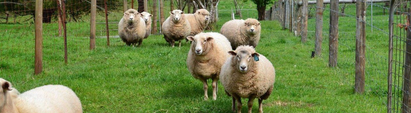 Sheep gippsland