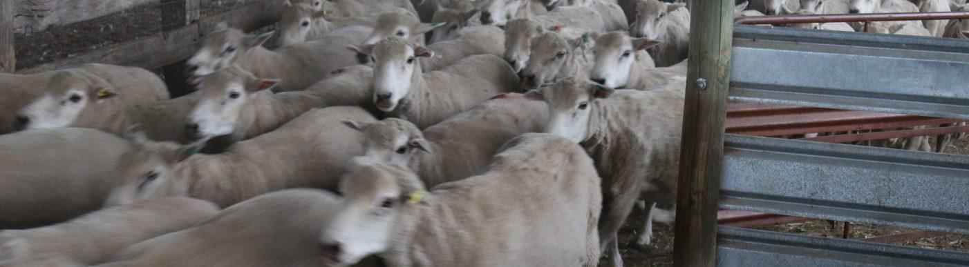 Sheep moving through gate