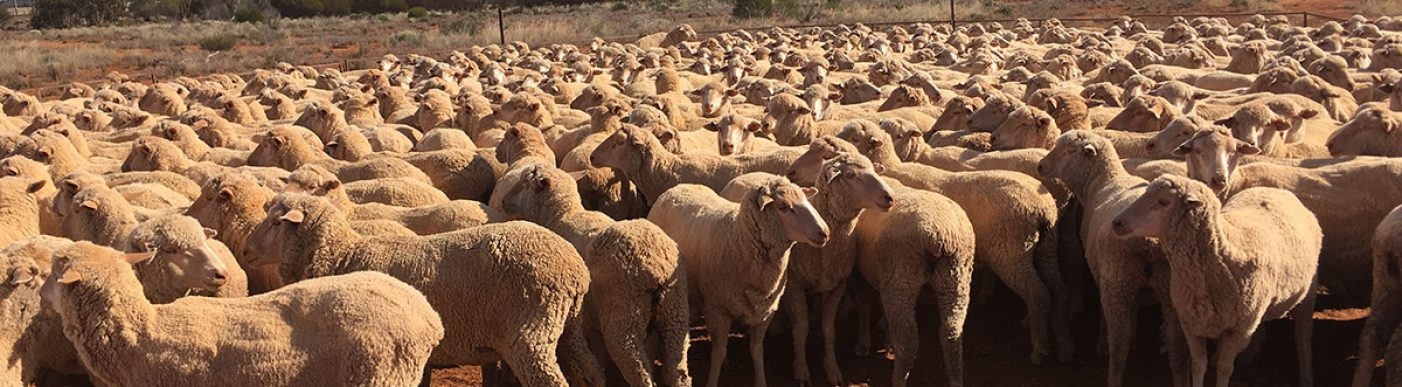 Sheep on red soil