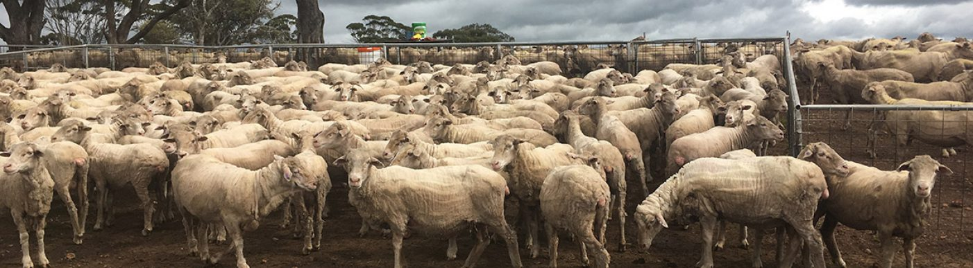 Sheep in dry paddock with rain clouds