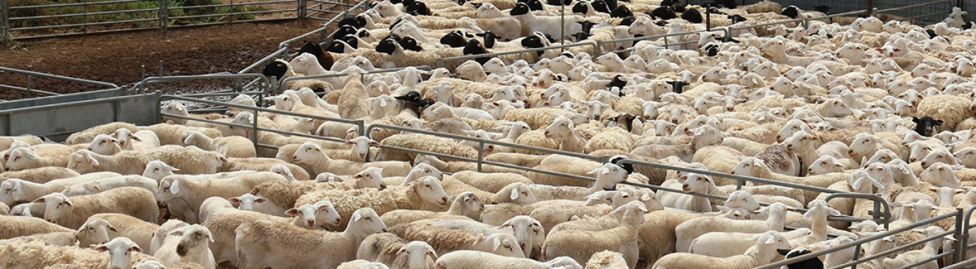 Lots of herded sheep in a pen
