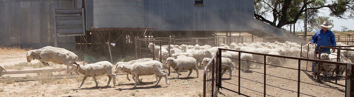 Sheep walking through a gate