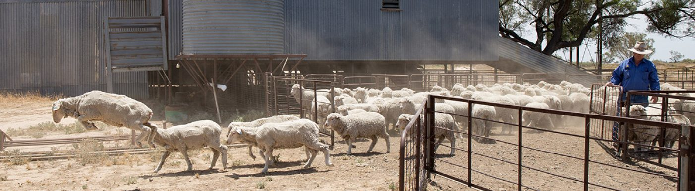 Sheep walking through a gate