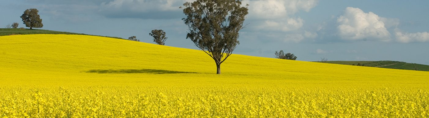 Field of canola with a tree