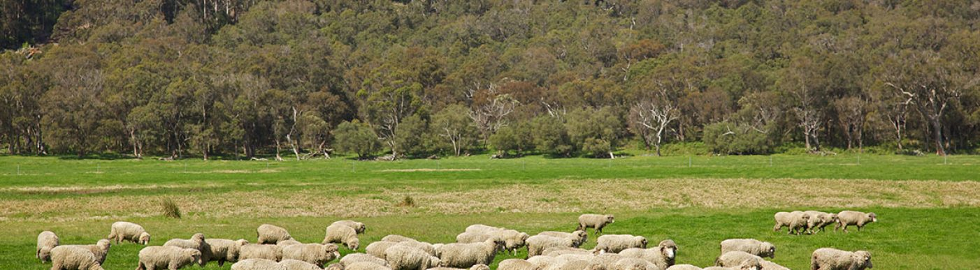 Flock of sheep in distance on green paddock