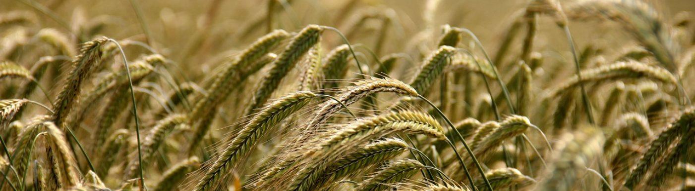 Grain crop