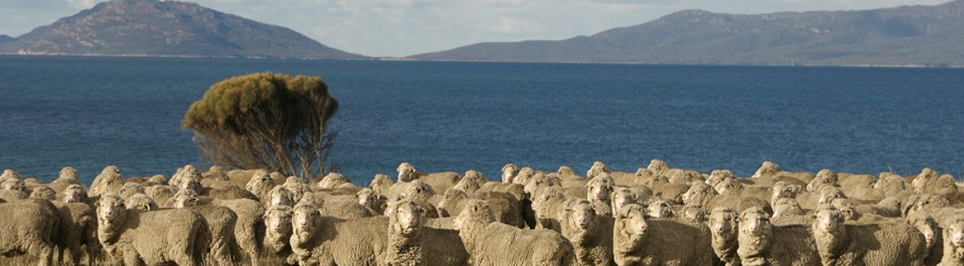 Merino sheep in Tasmania