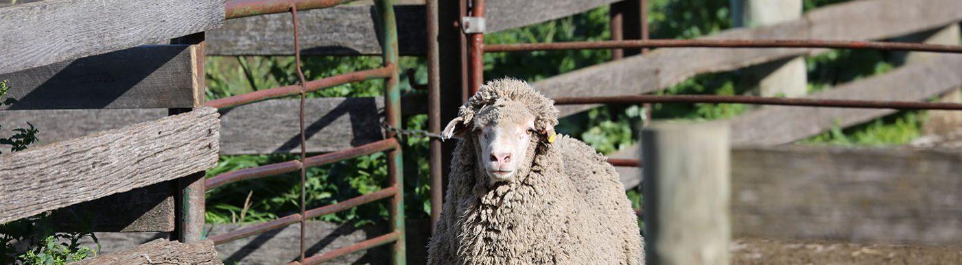 Sheep running in a yard