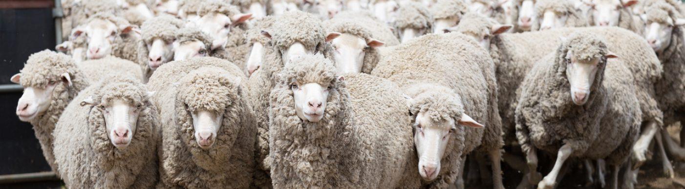 Sheep in a yard